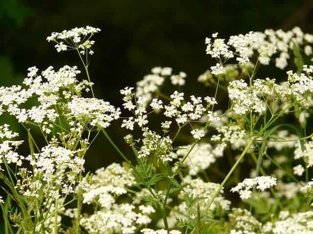 cows parsley
