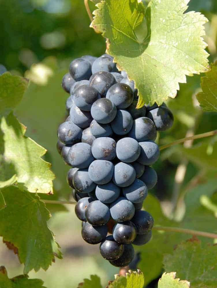 A bunch of grapes on the vine