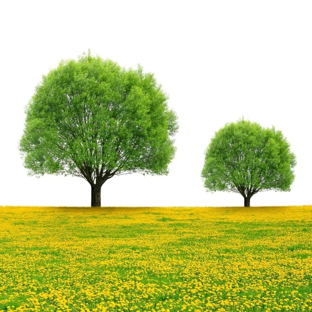 Trees on Dandelion field