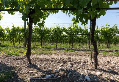 Vineyard for amarone wine