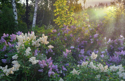 lilac-flowers-in-the-morning