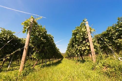 Valpolicella vineyard