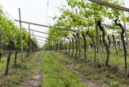 Valpolicella vineyard