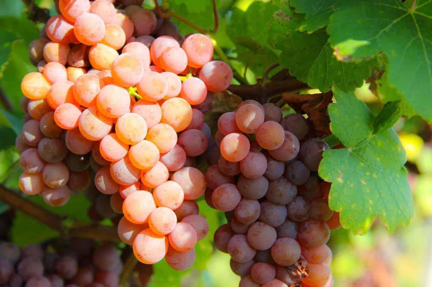 gewürztraminer grapes