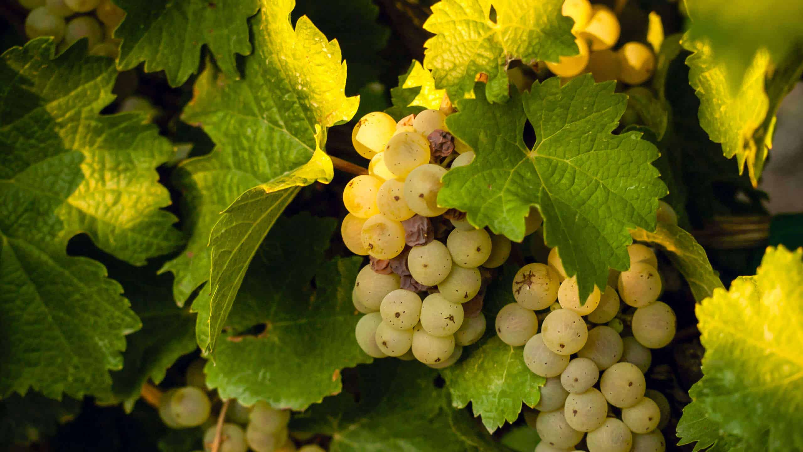 sémillon grapes